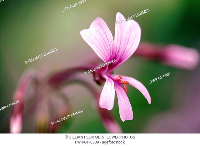 Transvaal perlagonium, Pelargonium transvaalense, Close side view of a single pale pink flower, veined wiht deep pink and showing its orange stamens