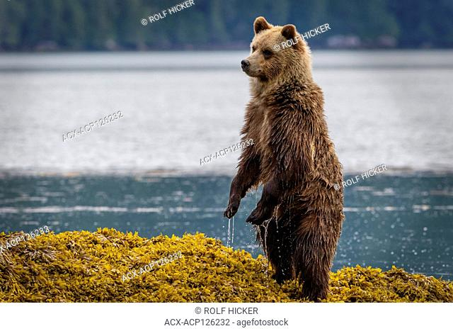 Cute grizzly bear cub standing up in sea weed looking for mom along the shoreline in Knight Inlet at low tide, First Nations Territory, British Columbia, Canada