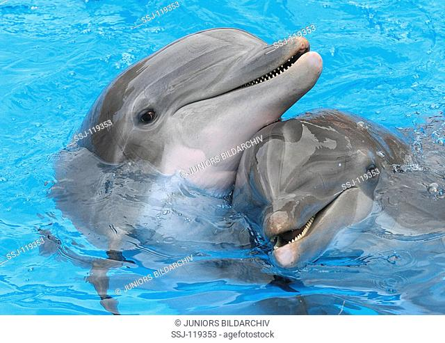 two bottlenosed dolphins - in water / tursiops truncatus