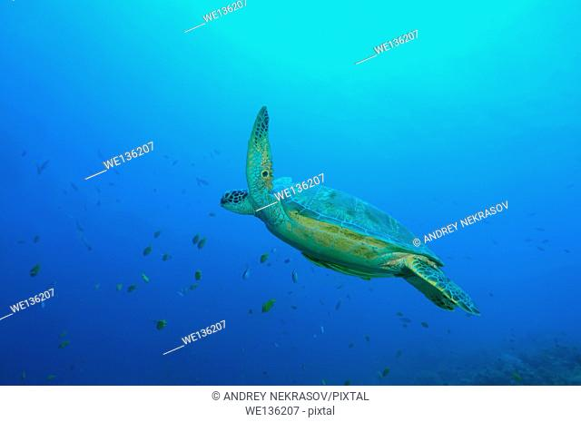 green sea turtle, green turtle, black sea turtle, or Pacific green turtle (Chelonia mydas) Bohol Sea, Philippines, Southeast Asia
