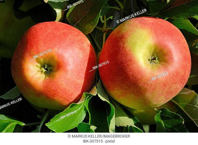 Red apples on a tree (Malus domestica) - Germany, Europe