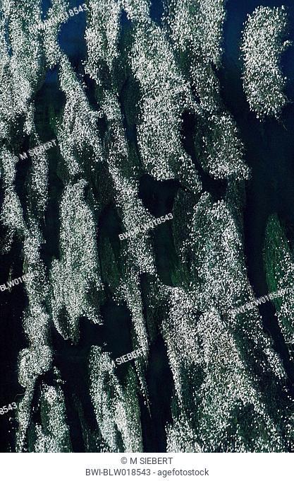 river water-crowfoot Ranunculus fluitans, Mai 97