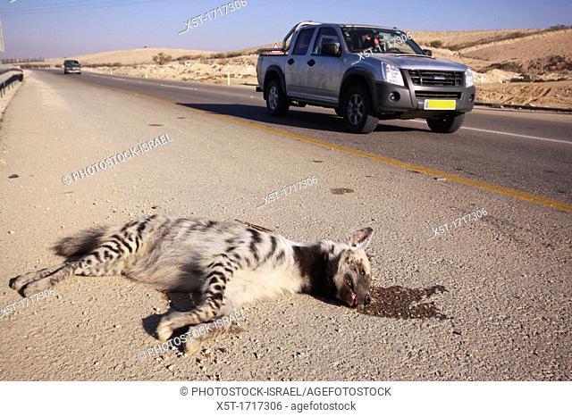 striped hyena Hyaena hyaena road kill Photographed in Israel Aravah Desert