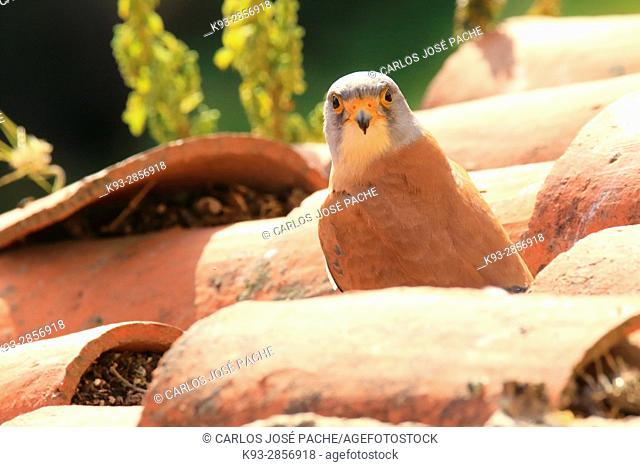 Lesser kestrel, male, in a colony. Extremadura, Spain