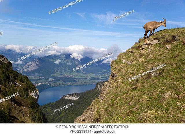 female Alpine Ibex (Capra ibex) standing on slope, Niederhorn, Bernese Oberland, Switzerland
