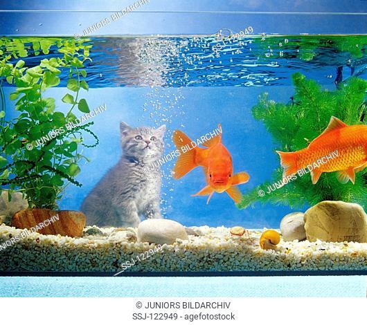 British Shorthair kitten at aquarium with goldfish