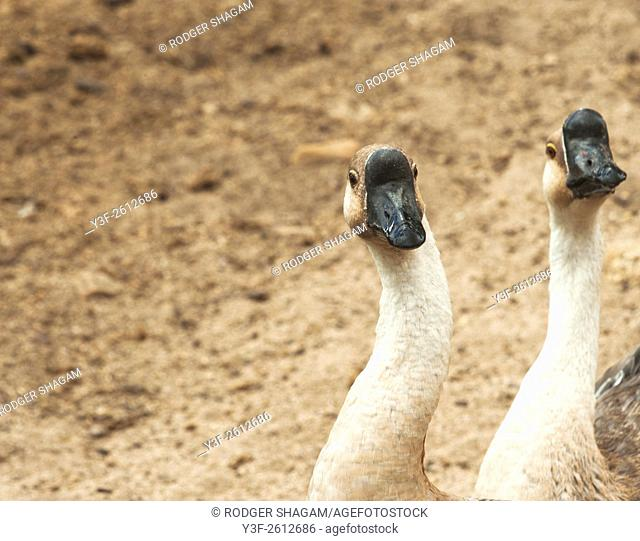 Common farm geese With black-knobbed bills. Western Cape Province, Outh Africa