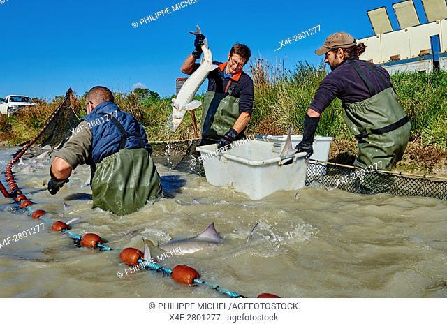 France, Loire-et-Cher (41), Caviar of Sologne, pisciculture Hennequart, sturgeon fishing