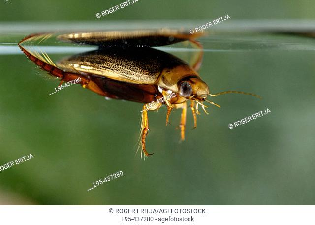 Great diving beetle (Dytiscus spp) from underwater