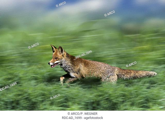 Red Fox Vulpes vulpes