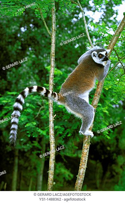 Ring Tailed Lemur, lemur catta, Adult hanging from Branch