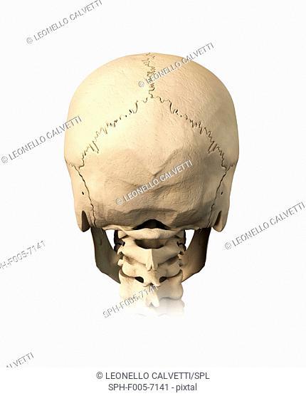 Human skull, computer artwork