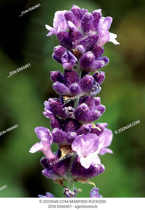 Lavendel, Lavendula, angustifolia, Heilpflanzen