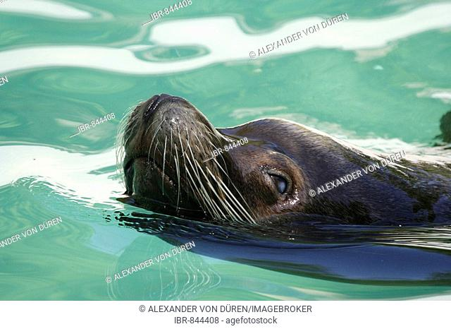 Male California Sea Lion (Zalophus californianus), Wuppertal Zoo, North Rhine-Westphalia, Germany, Europe