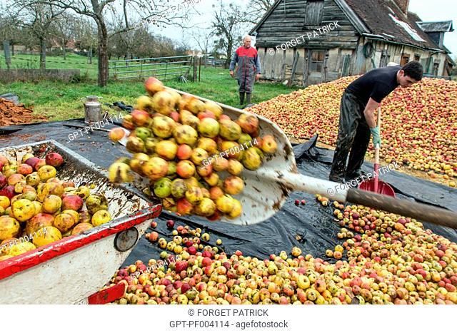 FARM WORKERS LOADING THE APPLES INTO THE PRESS, THE MAKING OF FARM CIDER, CLAUDE COURBE'S FARM, RUGLES (27), FRANCE