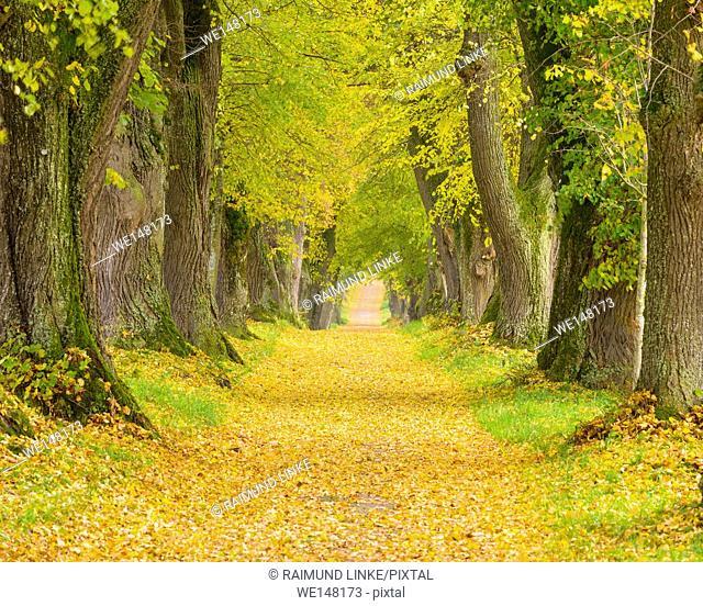 Lime Tree Avenue in Autumn, Marktoberdorf, Swabia, Allgau, Bavaria, Germany