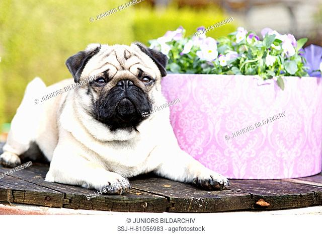 Pug. Adult male (2 years old) lying on a wooden plate in a garden next to flowering Horned Pansies. Germany