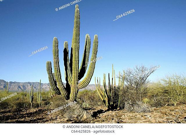 Saguaro cactus (Pachycereus sp). Baja California peninsula. Baja California. Mexico