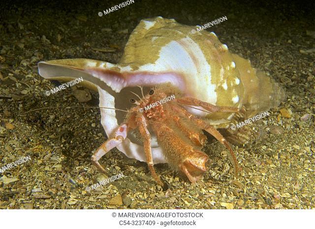 Deep sea. Hermit crab (Pagurus alatus). Eastern Atlantic. Galicia. Spain. Europe
