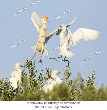 Cattle egret (Bubulcus ibis) adult and young in the air, s'Albufera, Majorca, Balearic Islands, Spain