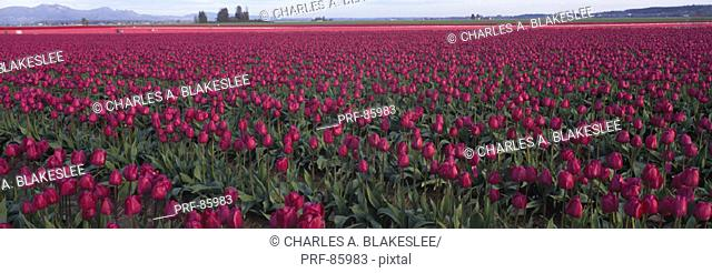 Tulip Fields Skagit County WA
