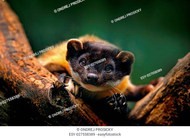 Yellow-throated marten, Martes flavigula, with clear green backg