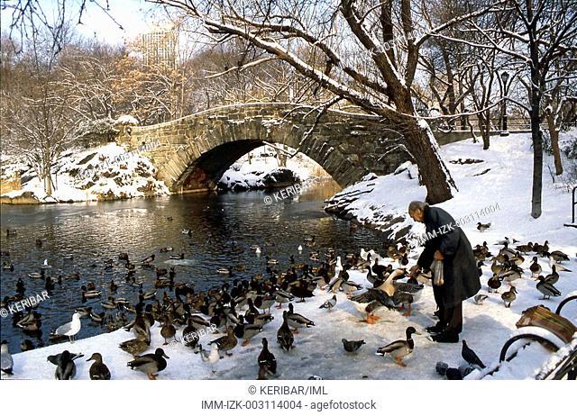 Winter at Central Park, man feeding ducks , New Yor City, United States, America