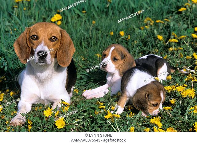 Beagle with Puppies