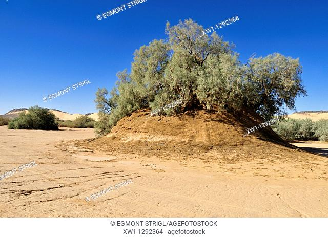 tamasrisk tree growing on a sandhill, Erg Tihodaine, Wilaya Tamanrasset, Algeria, Sahara, North Africa