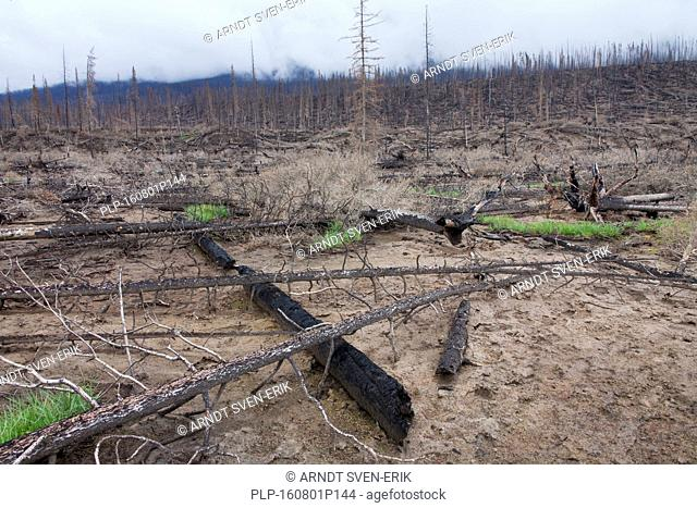 New grass shoots growing on scorched earth among charred tree trunks after wildfire, Jasper National Park, Alberta, Canada
