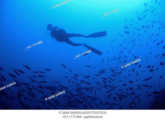 One scuba diver swimming alongside a school of sardines, Ross Atoll, Maldive Islands