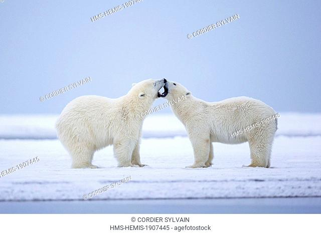 United States, Alaska, Arctic National Wildlife Refuge, Kaktovik, Polar Bear (Ursus maritimus)