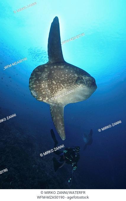 Diver and Ocean Sunfish, Mola Mola, Bali, Indonesia