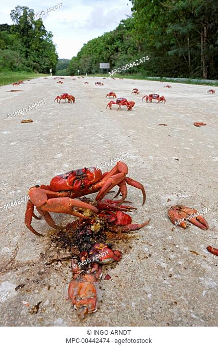 Christmas Island Red Crab (Gecarcoidea natalis) feeding on the remains of another crab crushed on the road, Christmas Island, Indian Ocean