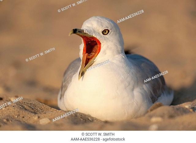 Ring-billed Gull (adult plumage) Yawning Whlle Resting on Sandy Beach (Larus delawarensis) Petoskey SP; Michigan