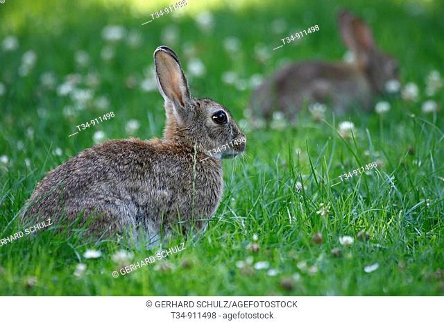 European Rabbit, Oryctolagus cuniculus, Schleswig-Holstein, Germany