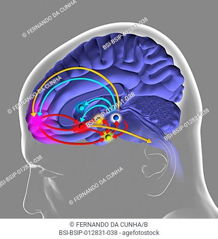 The brain reward pathway is indispensable to the survival because it associates the execution of vital functions with strong sensations of satisfaction