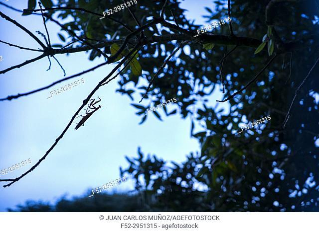 European mantis - Mantis (Mantis religiosa), Cantabria, Spain