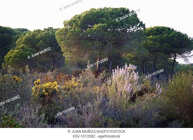 Spring in the Mediterranean bush. Odiel Marshes Natural Park. Huelva. Andalusia. Spain