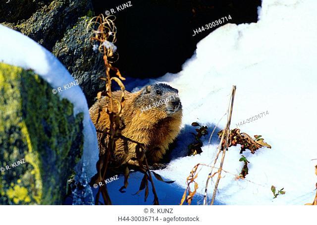 Alpine Marmot, Marmota marmota, Sciuridae, Marmot, rodent, mammal, animal, Dischmatal, Davos, Alps, Canton of Graubünden, Switzerland
