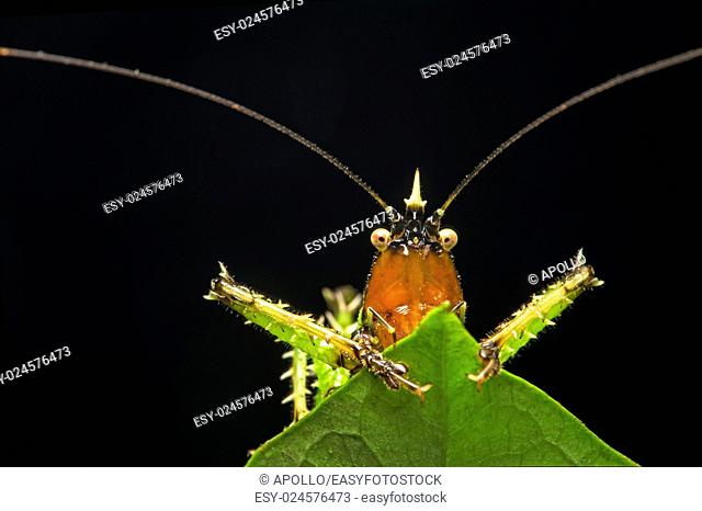 Spiny devil katydid (Panacanthus various), (Tettigoniidae family), Amazon rainforest, Canande River Reserve, Choco forest, Ecuador