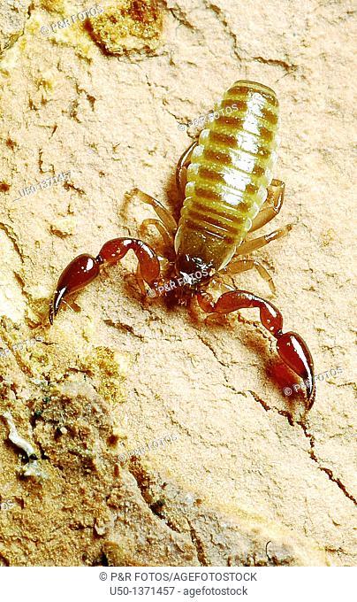 Pseudoscorpions, Pseudoscorpiones, Arachnida, Acre, Brazil, 2009  0 5 cm lenght