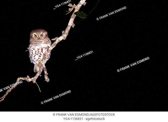African Barred Owlet Glaucidium Capense  At night  June 2009, winter  Balule Private Nature Reserve, York section  Greater Kruger National Park, Limpopo