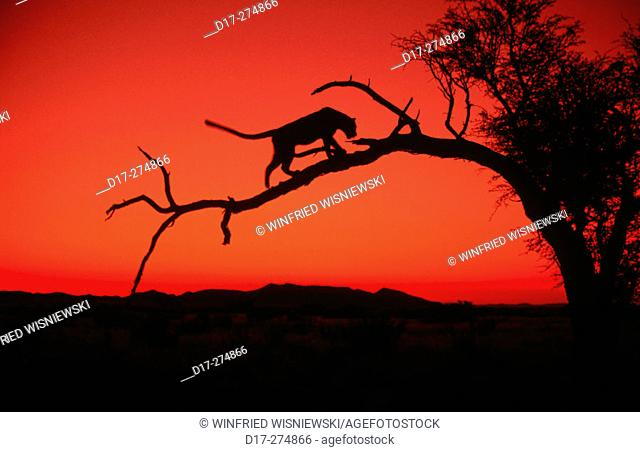 Leopard (Panthera pardus) on a tree at sun set against a red sky. Namib Desert