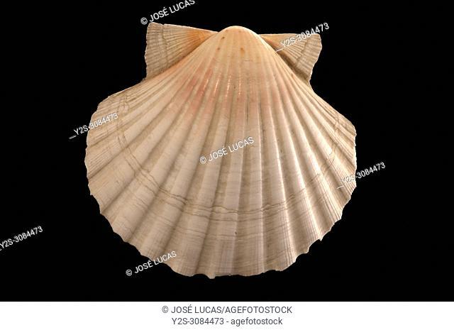 Seashell of Pecten jacobaeus. Malacology collection. Spain. Europe