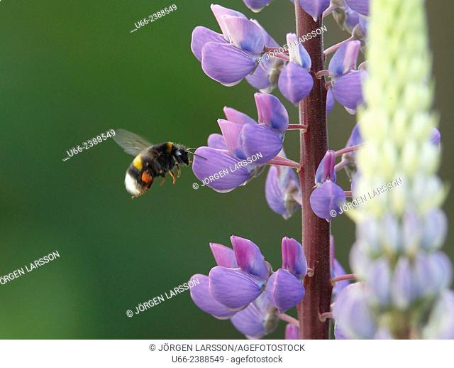 Bumblebee, bombus, lupin