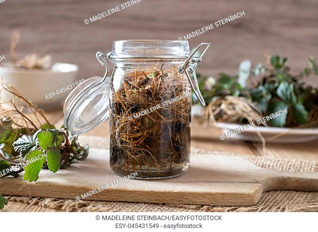 Preparation of Herb Bennet tincture from fresh Geum urbanum roots