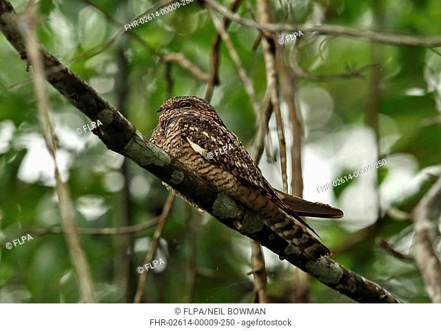 Lesser Nighthawk (Chordeiles acutipennis) adult, roosting on branch, Cuero y Saldo, Honduras, February