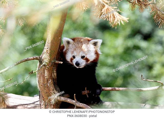 China. Province of Yunnan. Russet-red panda (Ailurus fulgens) in a tree