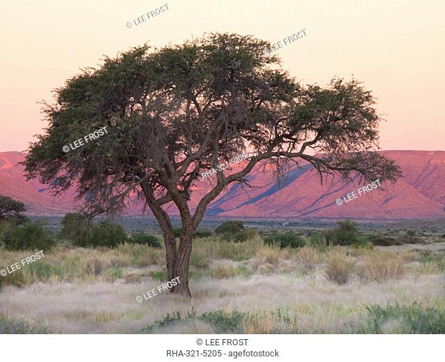 Camelthorn tree against sandstone mountains lit by the last rays of light from the setting sun, near Sesriem, Namib Desert, Namib Naukluft Park, Namibia, Africa